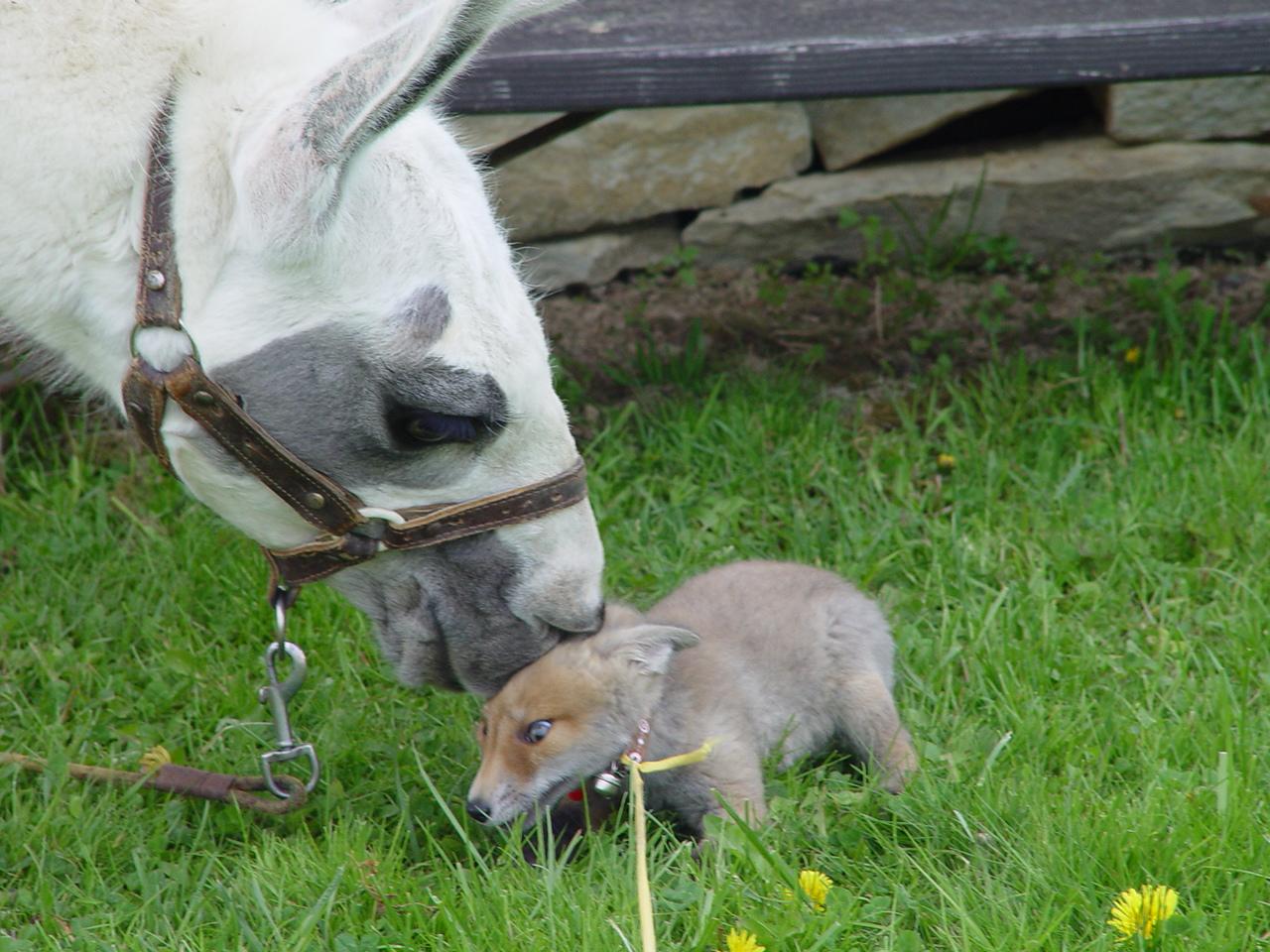 Lama s liškou