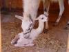 Lamí mládě s maminkou